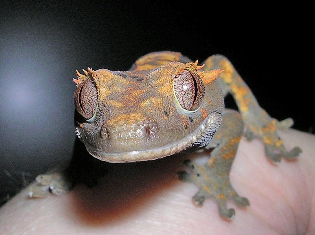 домашняя ящерица фото