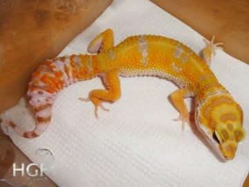 Tangerine Tremper Albino Image 6