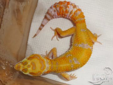 Tangerine Tremper Albino Image 7