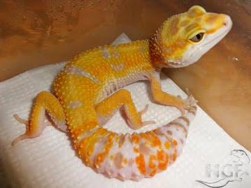 Tangerine Tremper Albino Image 8