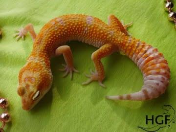 Tangerine Tremper Albino Image 2