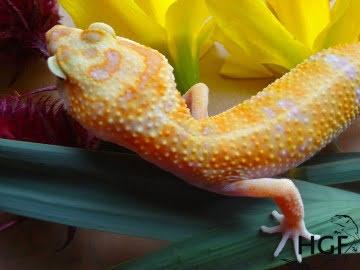 Tangerine Tremper Albino Image 1