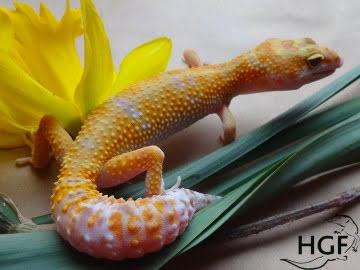 Tangerine Tremper Albino Image 0