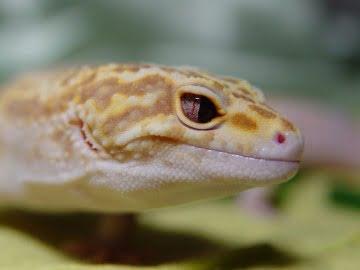 Banded RAPTOR Snake Eyes Image 0