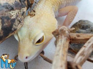 RAPTOR Snake Eyes Image 4