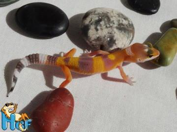 Леопардовый геккон (эублефар) Image 7