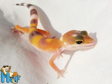 Леопардовый геккон (эублефар) Image 4