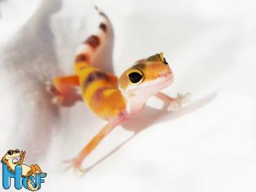 Леопардовый геккон (эублефар) Image 3