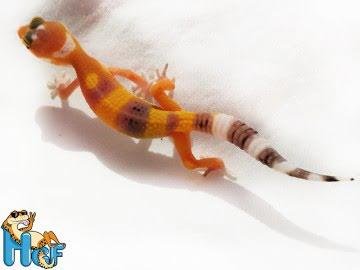Леопардовый геккон (эублефар) Image 2