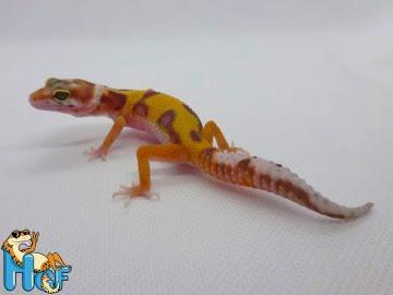 Леопардовый геккон (эублефар) Image 0