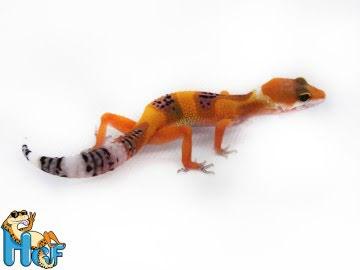 Леопардовый геккон эублефар Image 1