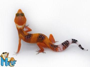 Леопардовый геккон эублефар Image 0
