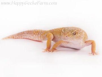 Tremper Albino Pastel Image 2